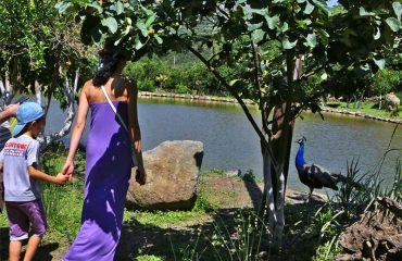Botanical-Park-Peacock