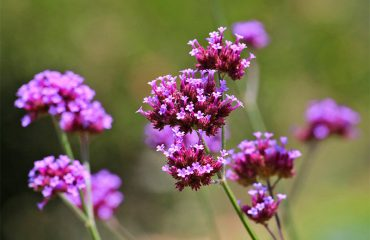 Botanical-Park-Purple-Flowers