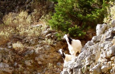 Imbros-Prying-Goats