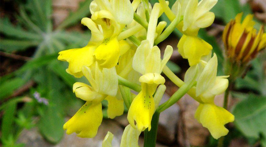 Imbros-Yellow-Flower