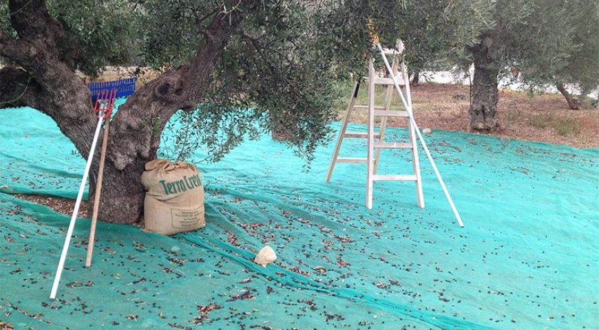 Jeep-Safari-Olive-Harvesting